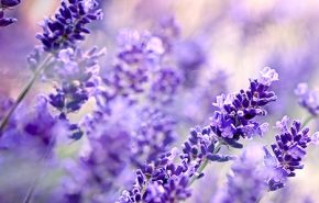 Lavender High Altitude Essential Oil