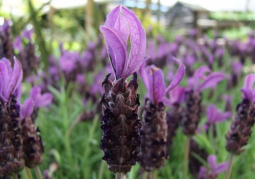 Lavender Stoechas WILD CRAFTED