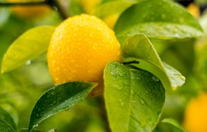 Lemon Distilled Organic Essential Oil