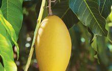 foglia di mango assoluta