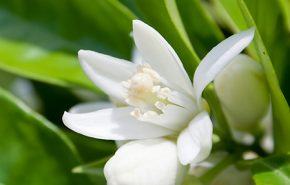 Neroli Essential Oil TRUE