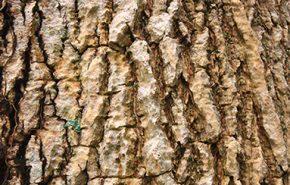 Peru Balsam Essential Oil