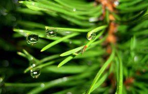 Pine Essential Oil Sylvestris