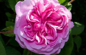 Assoluta di Rosa Marocchina
