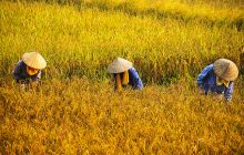 Vetivert Essential Oil CHINA