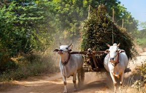 Vetivert ORGANIC (South India)