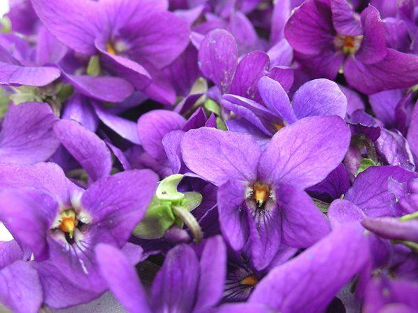 Violet Flower Extrait from Enfleurage