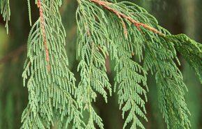 Weeping Cypress Essential Oil
