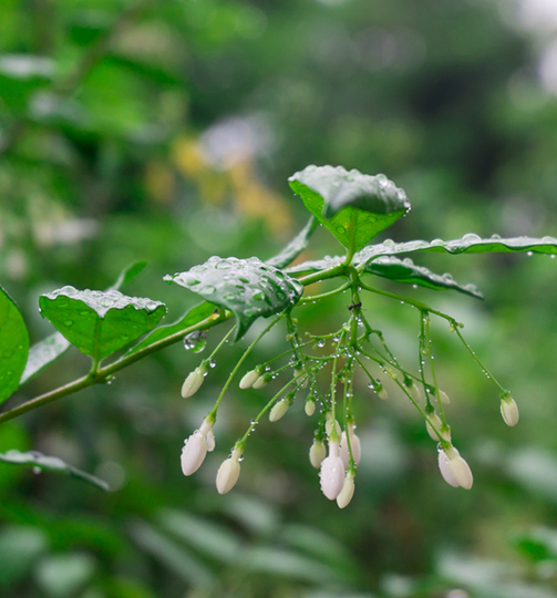 Gelsomino auriculatum