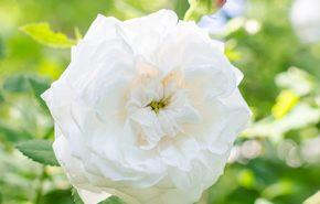 Olio Essenziale di Rosa Bianca